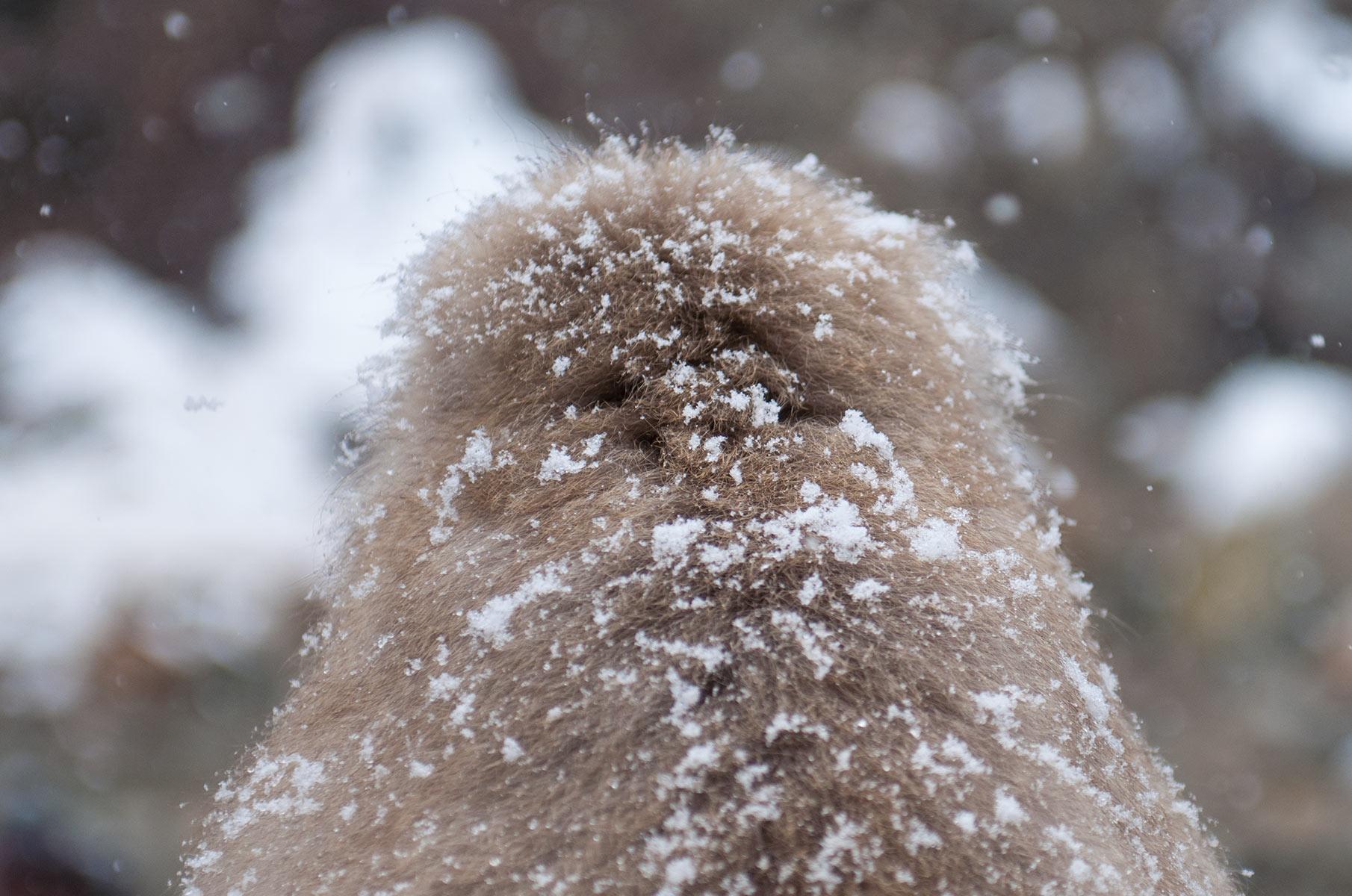 Japanmakaken und Schnee im Jigokudani Snow Mountain Park im Winter