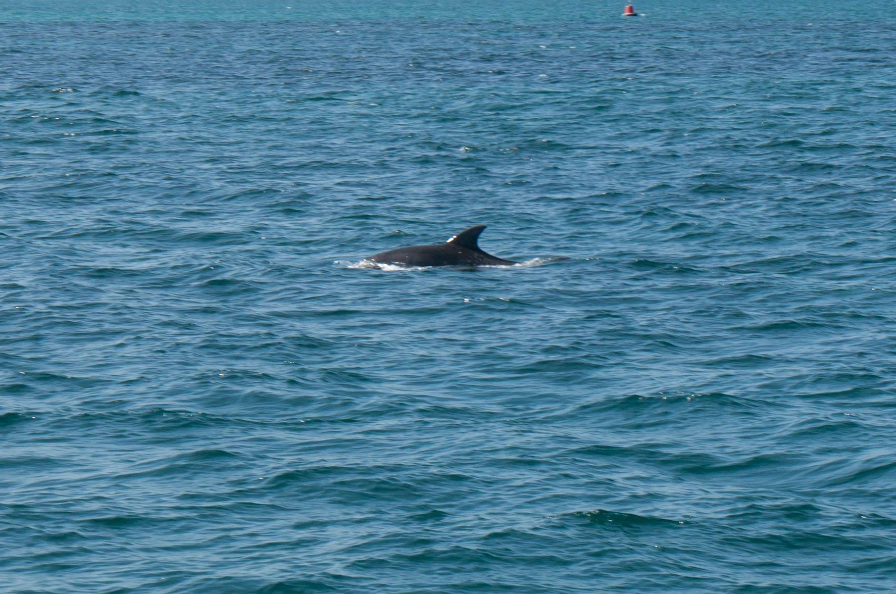 Delfine in der Jervis Bay, Australien