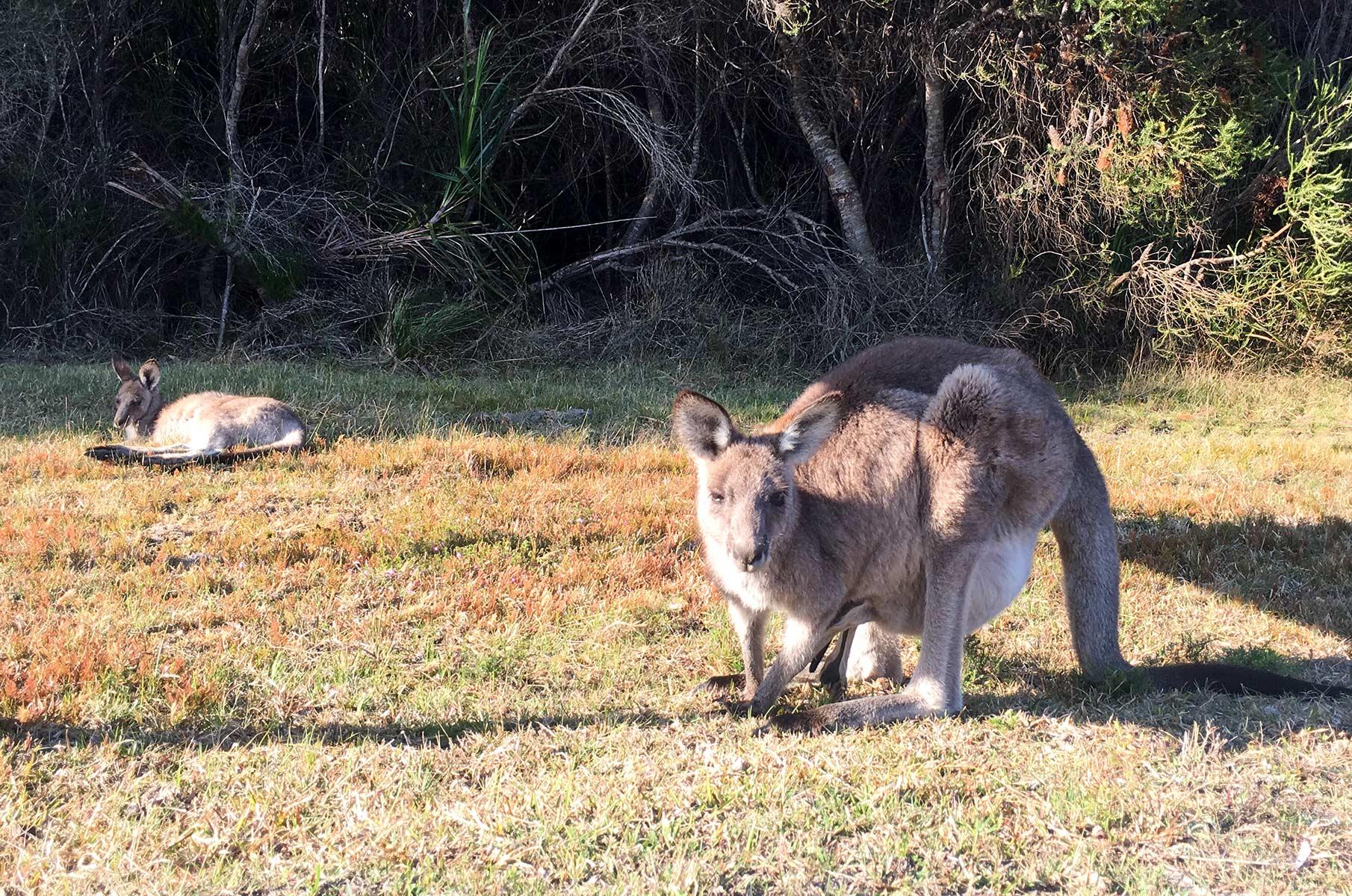 Wildes Känguru in Australien nahe Jervis Bay