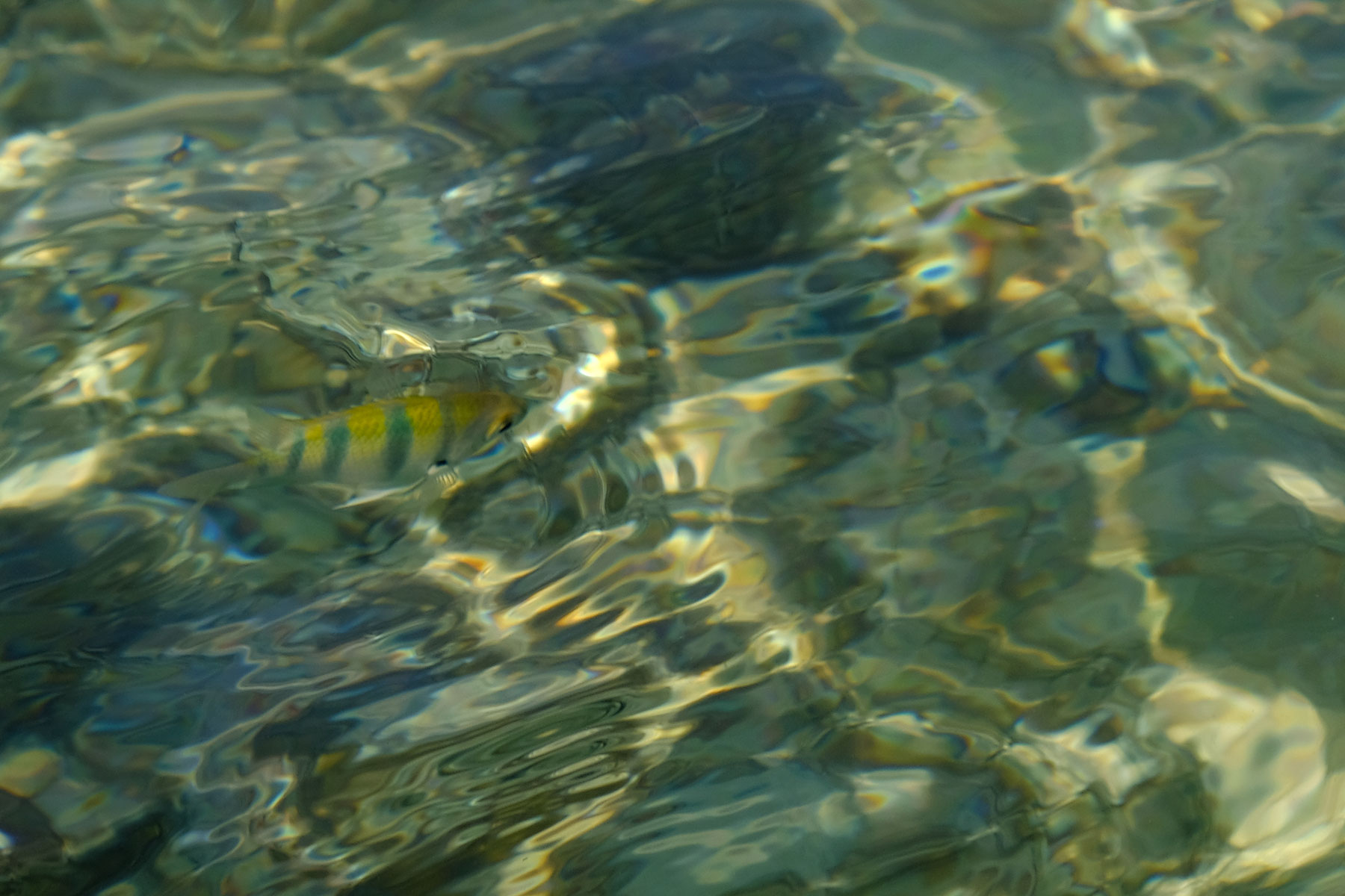 Gelb-blau gestreifter Fisch in Taiwan