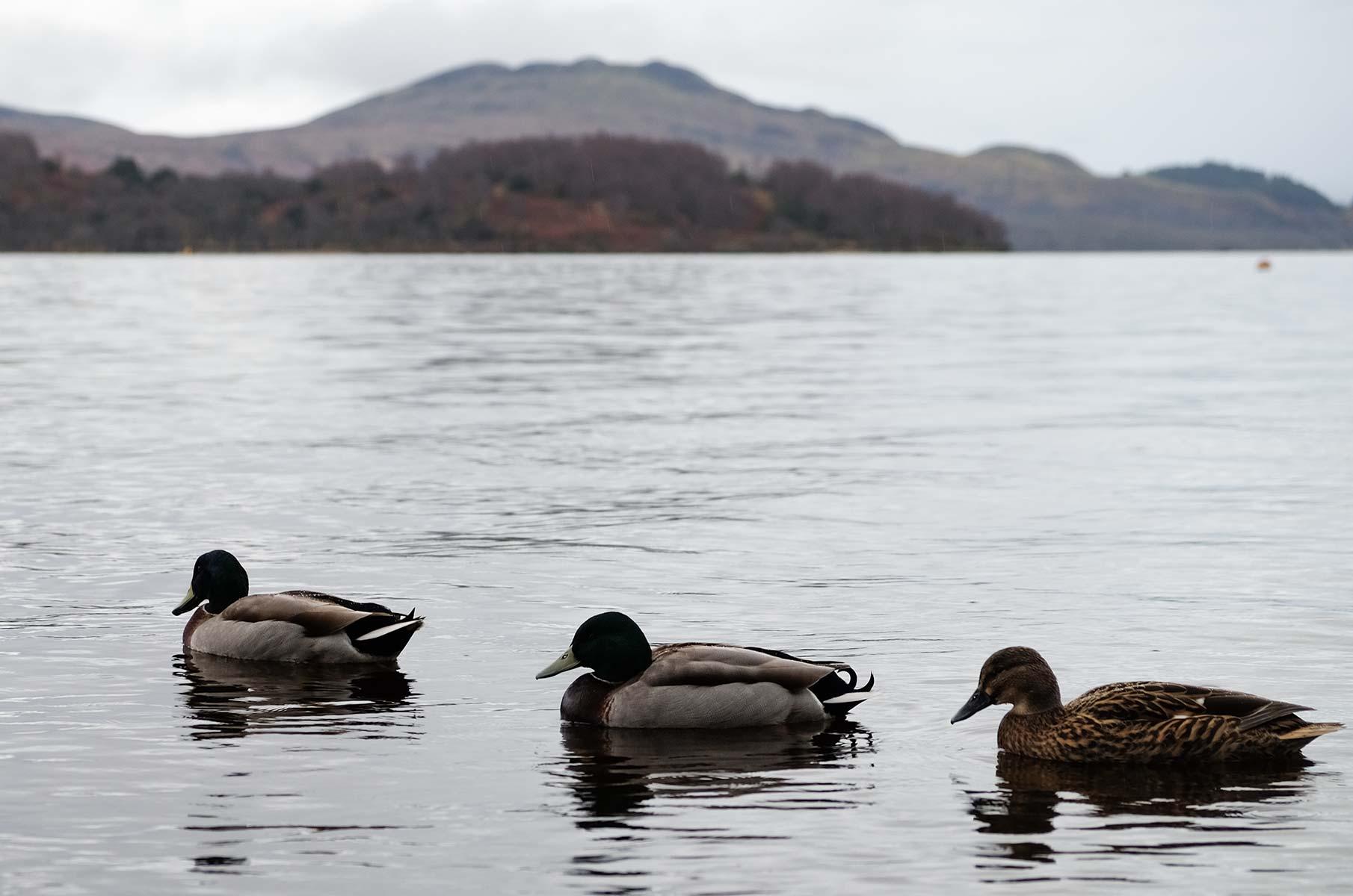 Enten auf dem Ben Vorlich im Winter, Schottland