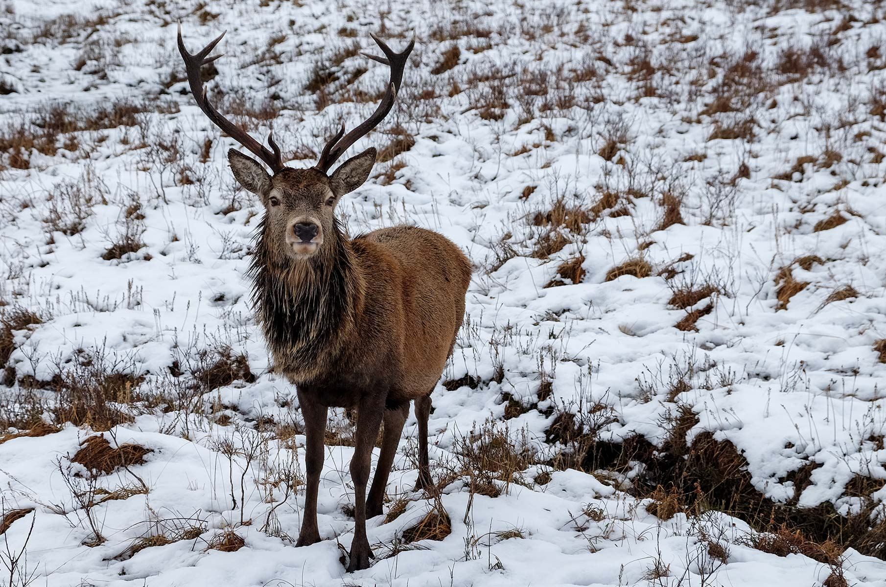 Wilder Hirsch im Loch Lomond and the Trossachs Nationalpark in Schottland
