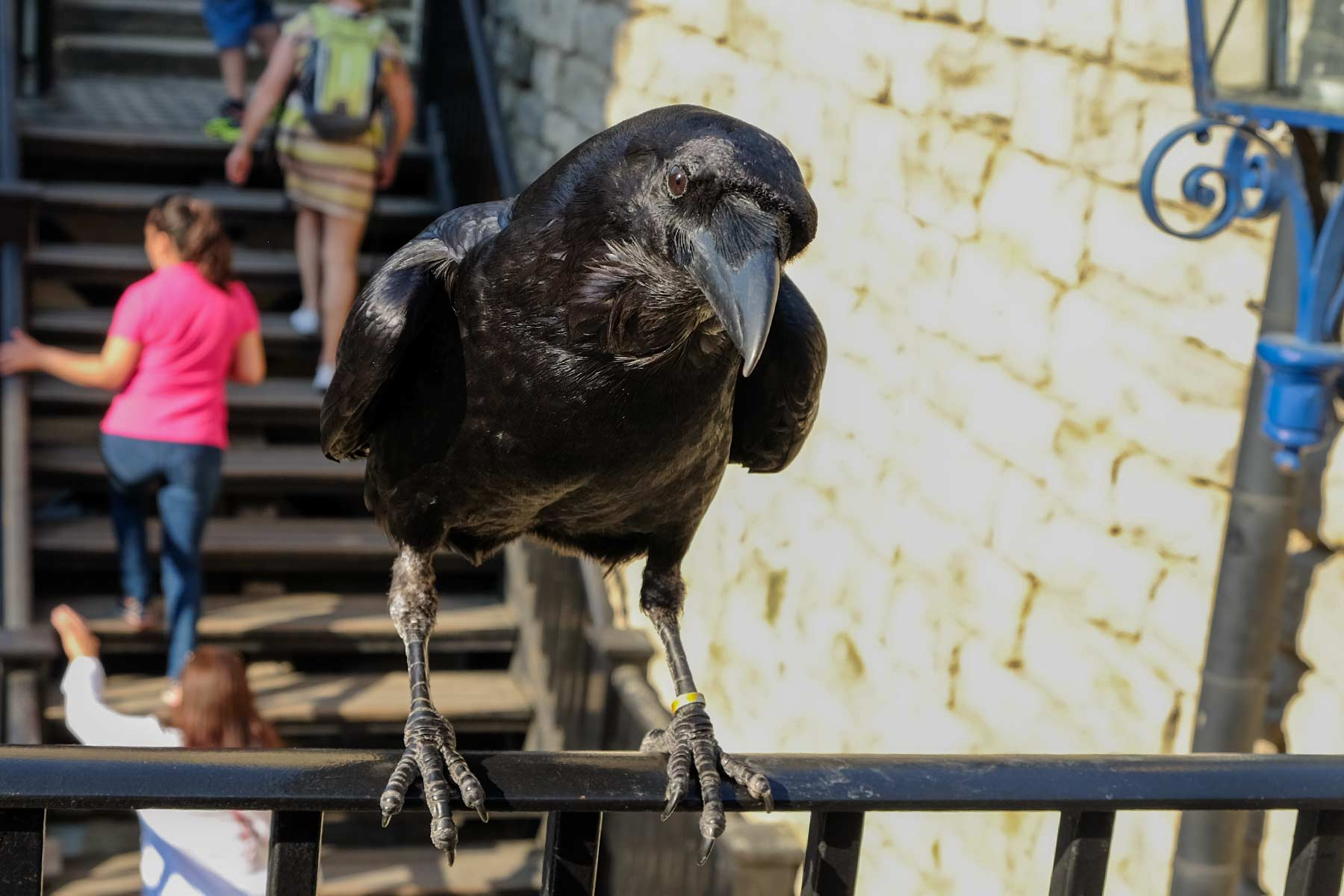 Rabe im Tower of London in London, England