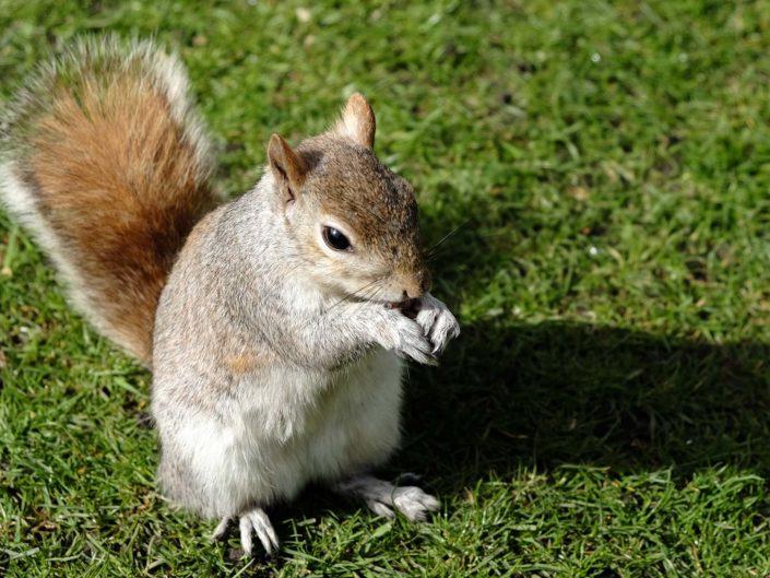 Eichhörnchen im St. James Park