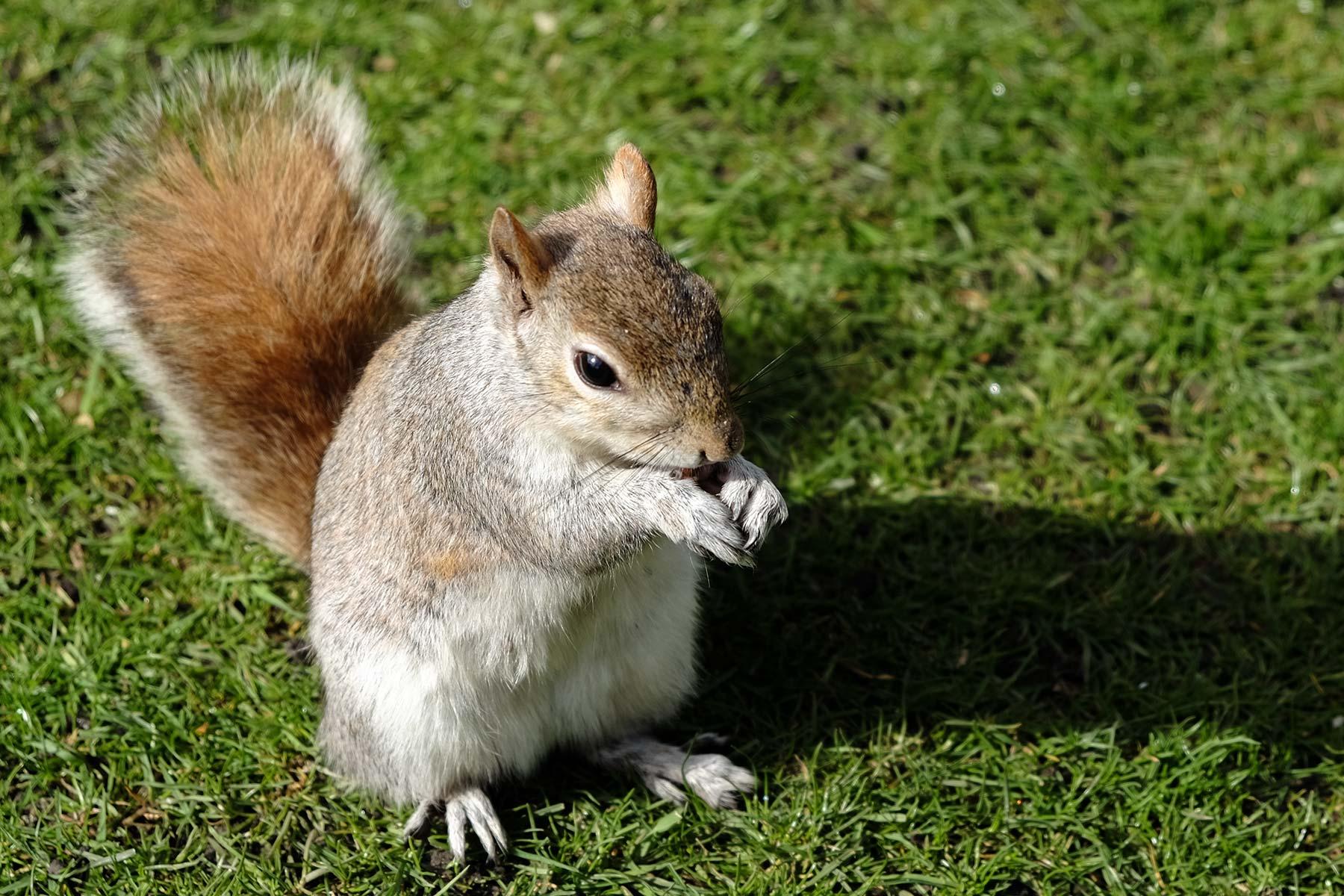 Eichhörnchen im St. James Park in London, England