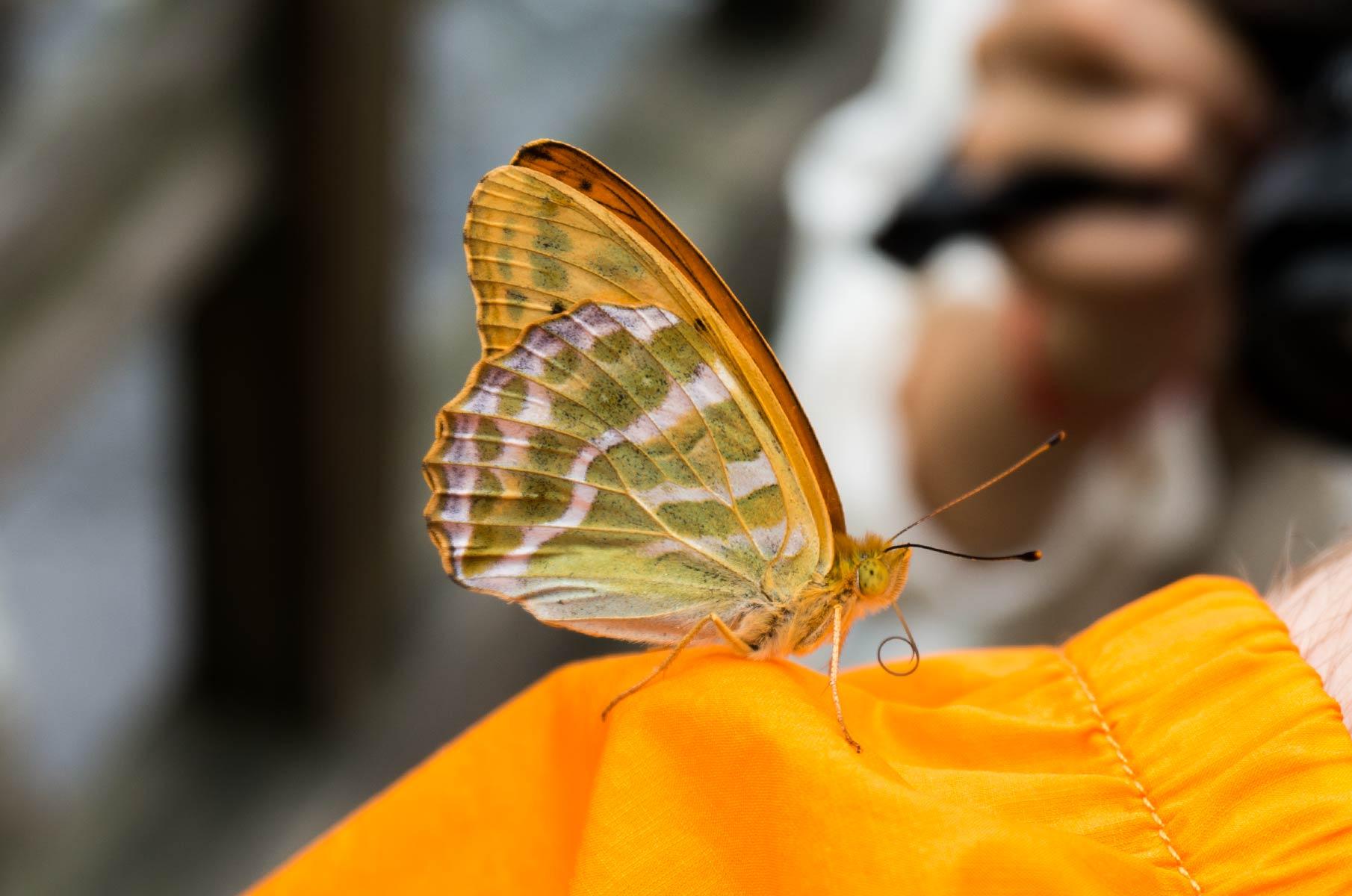 Schmetterling am Yomoto See in Nikko, Japan