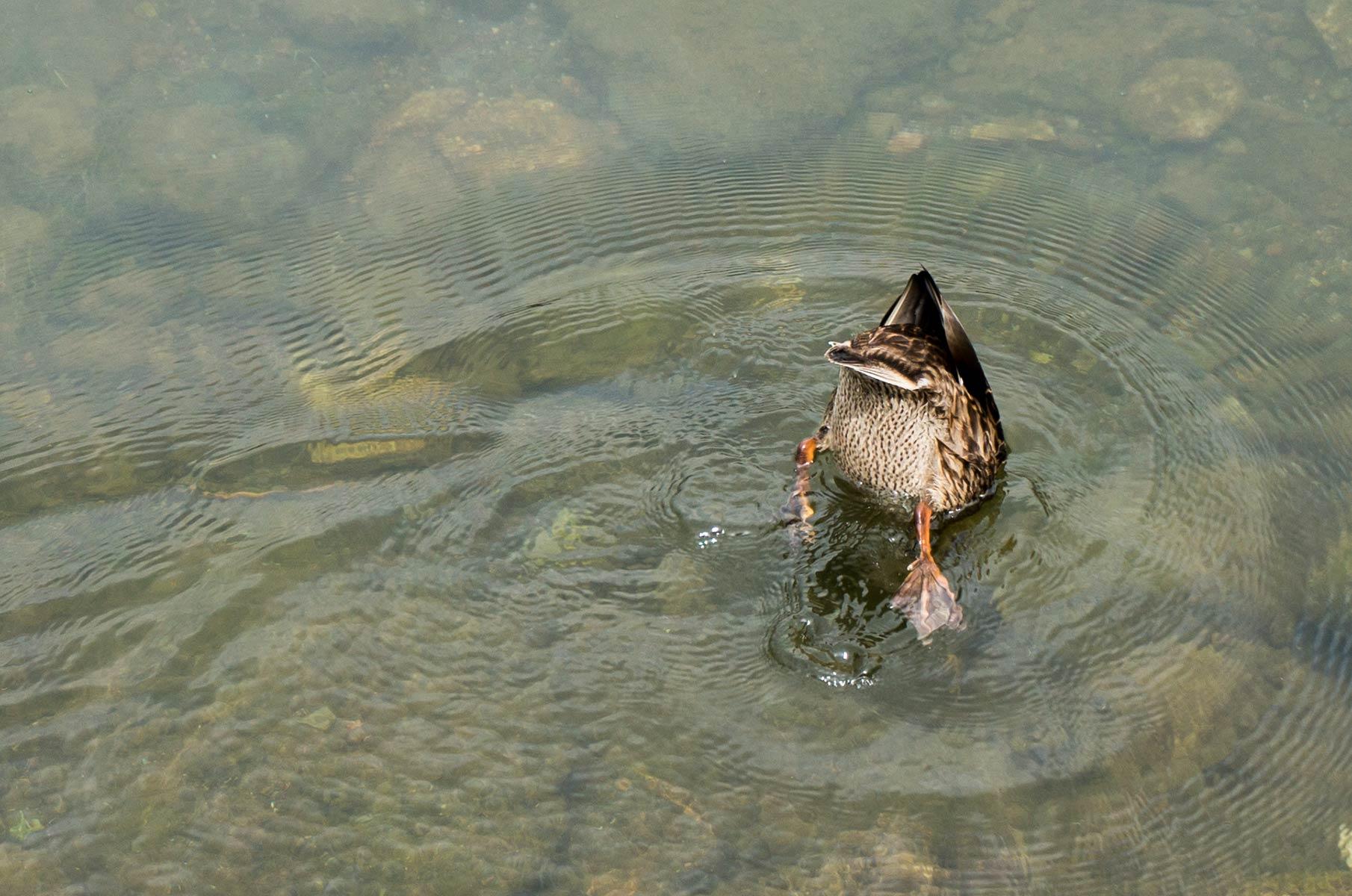 Tauchende Ente am Yomoto See in Nikko, Japan