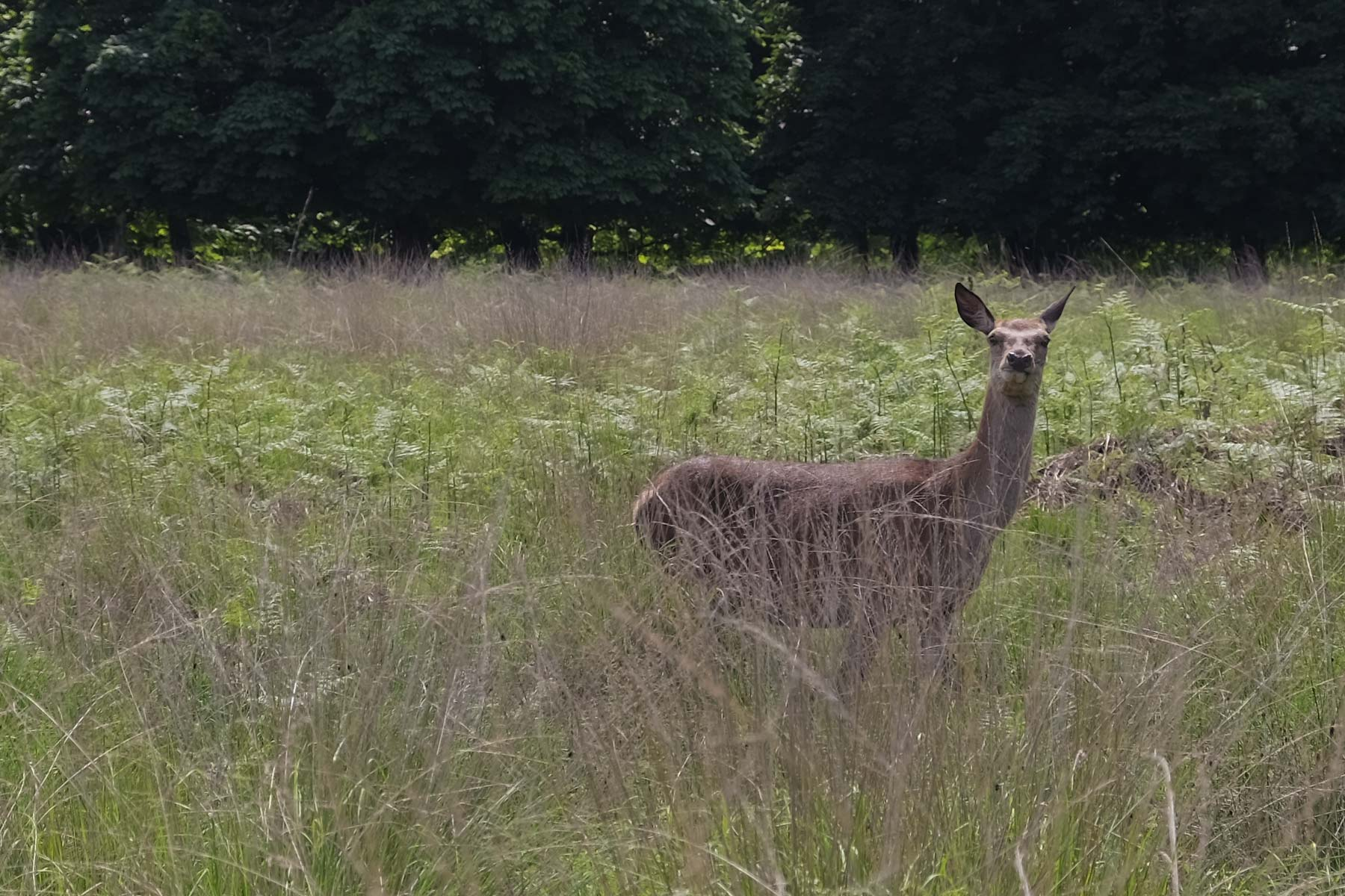 Hirsch im Richmond Park in London