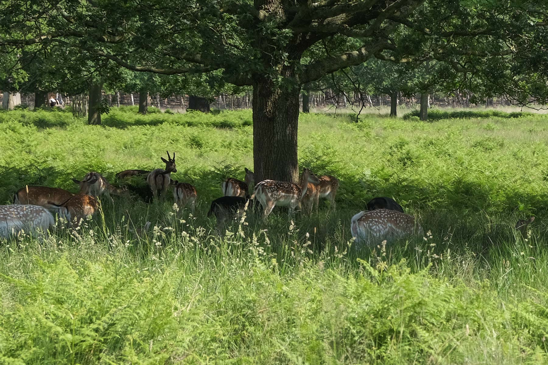 Hirsche im Richmond Park in London