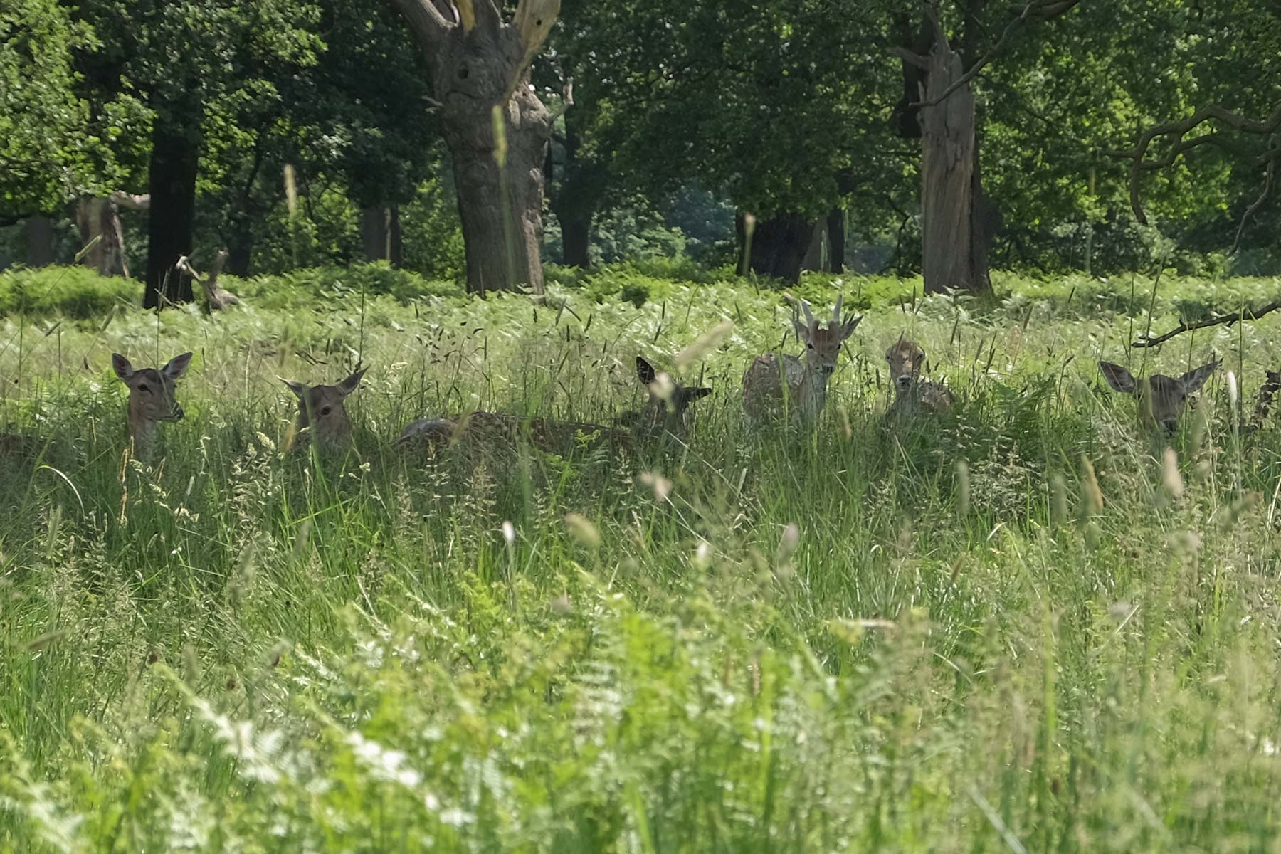 Hirsche im Schatten im Richmond Park in London