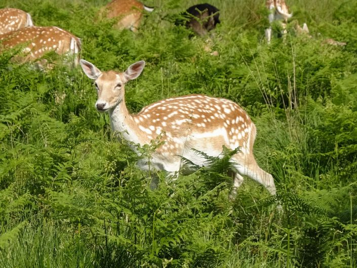 Wilde Hirsche im Richmond Park