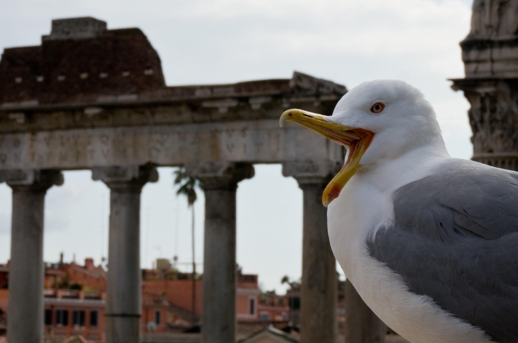 Seemöwe in Rom, Italien