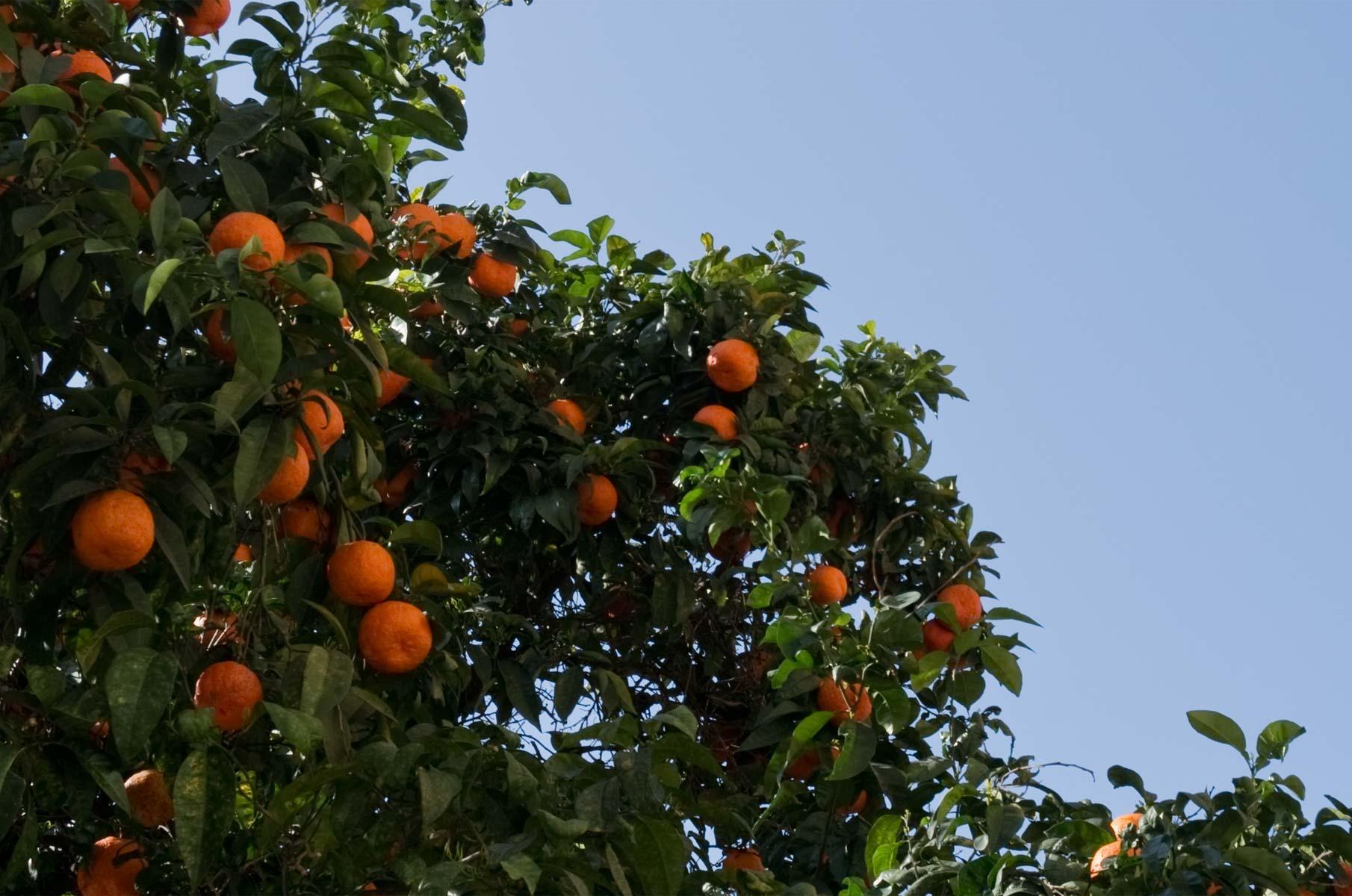 Orangenbaum in Rom, Italien