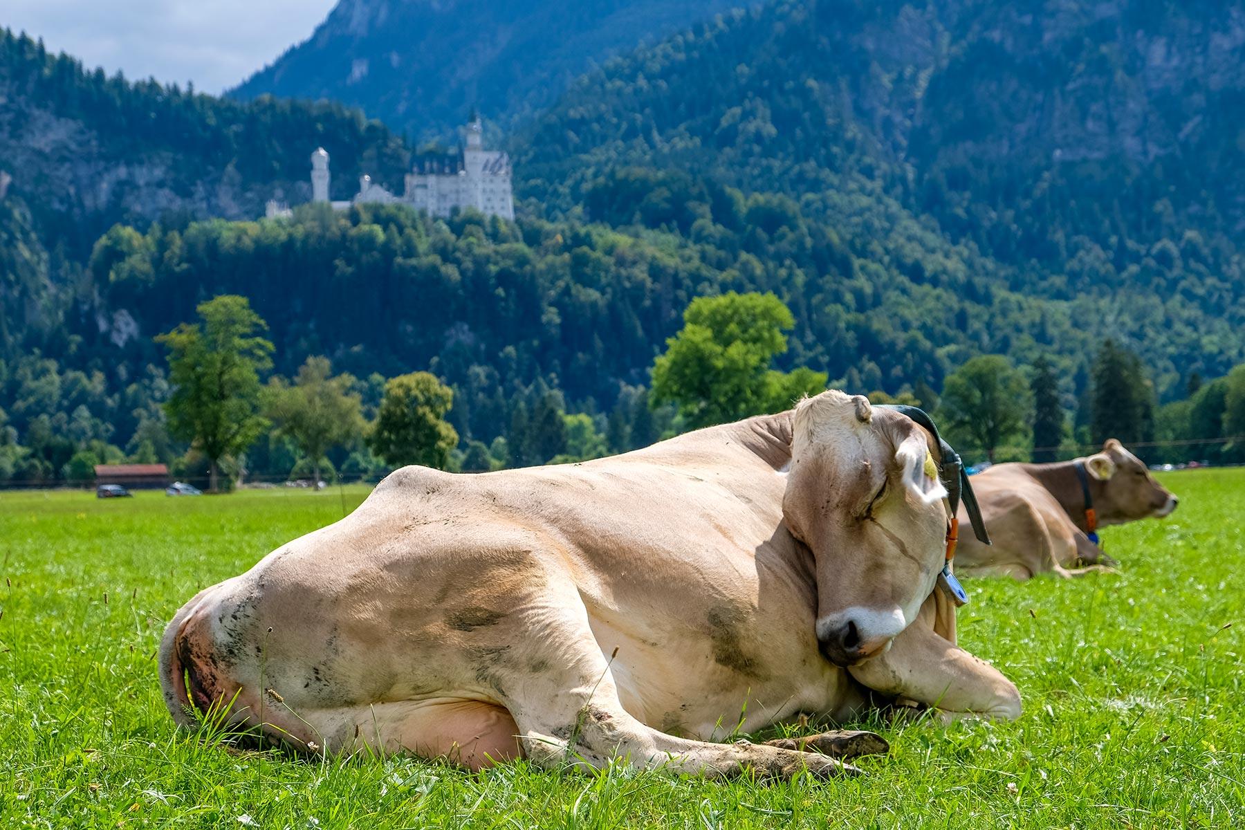 Schlafende Kuh auf einer Wiese mit dem Schloss Neuschwanstein im Hintergrund