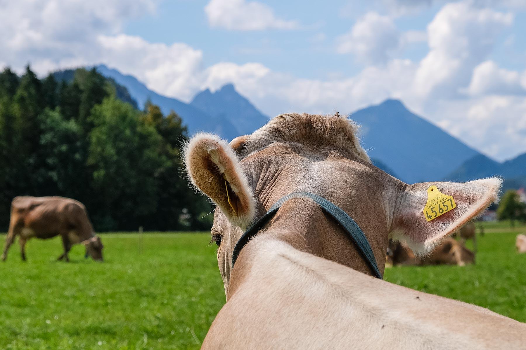 Ansicht einer Kuh auf einer Wiese