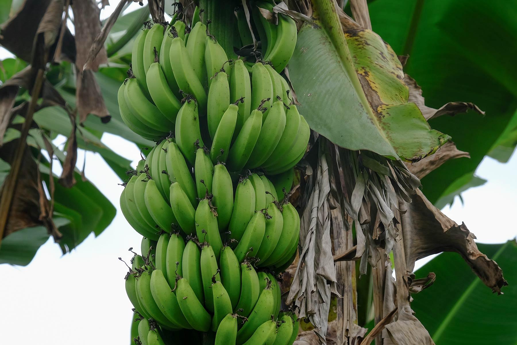 Bananenstaude in Taiwan
