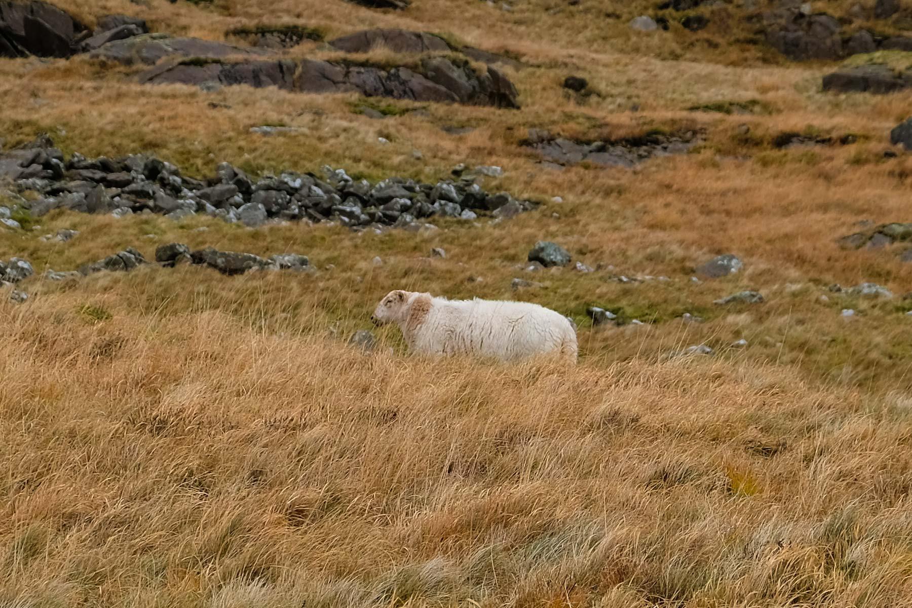 Schaf im Snowdonia Nationalpark in Wales