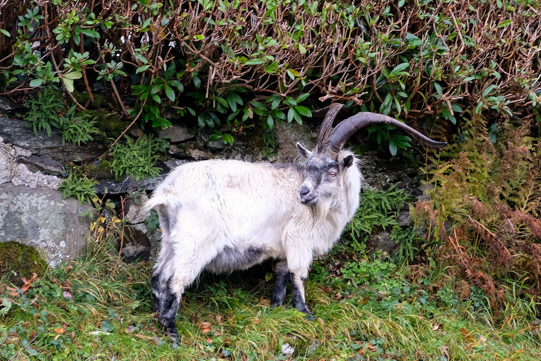 Wilde walisische Bergziege im Snowdonia Nationalpark in Wales