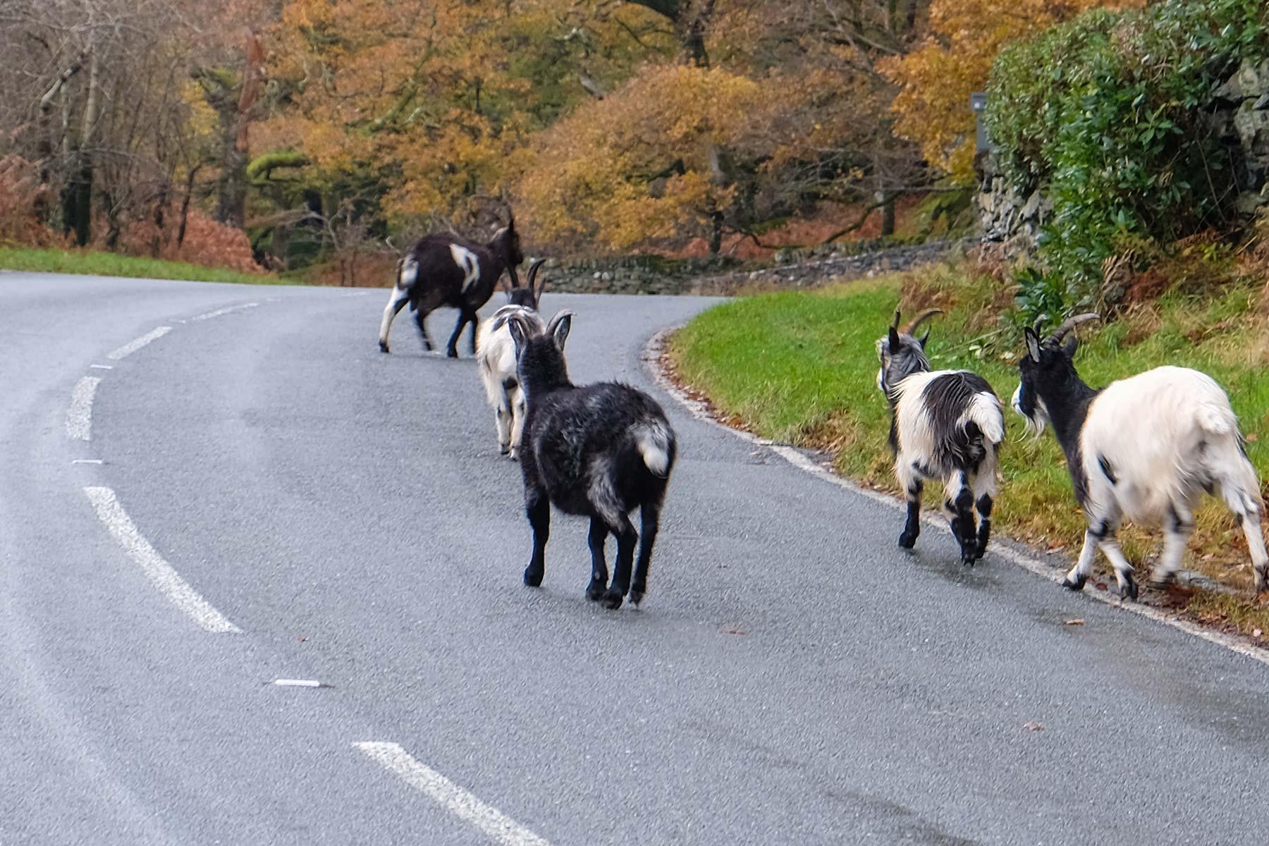 Wilde walisische Bergziegen im Snowdonia Nationalpark in Wales