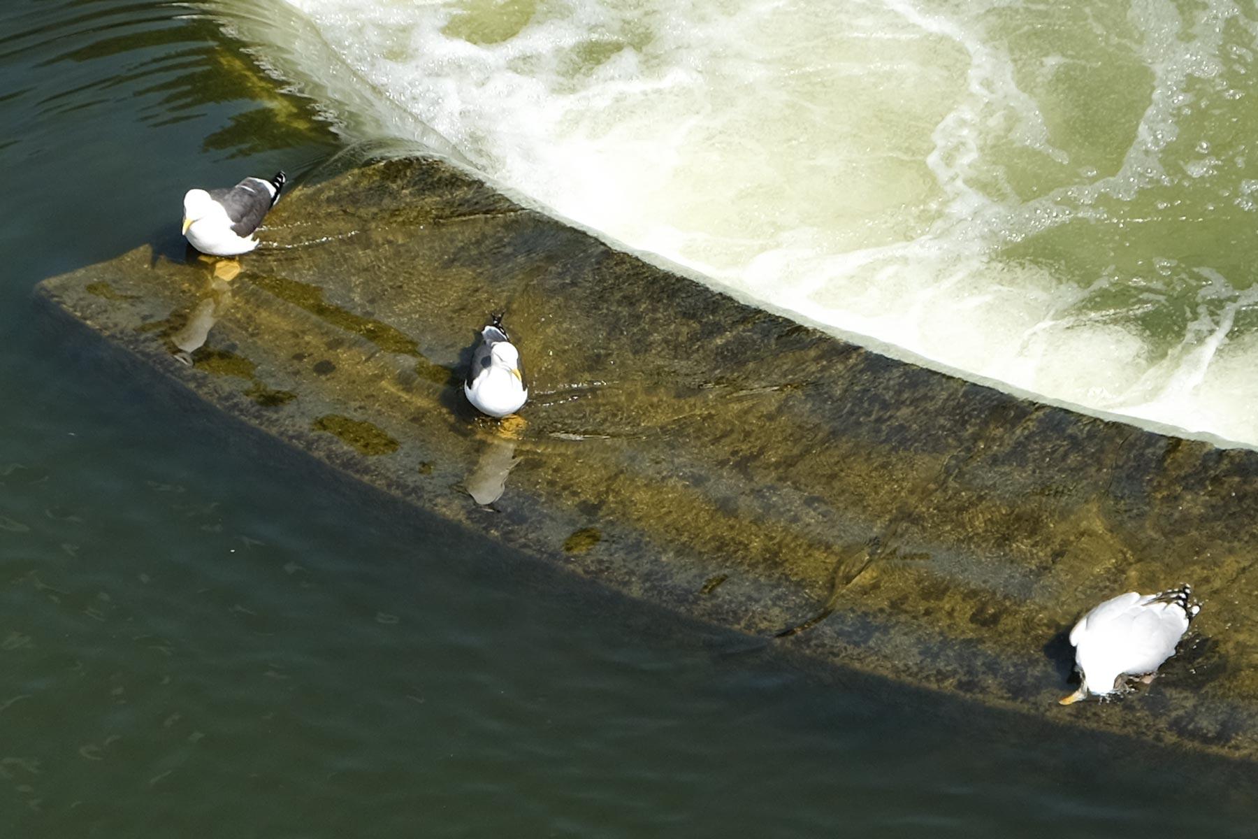 Möwen im Wasser in Bath in Somerset, England