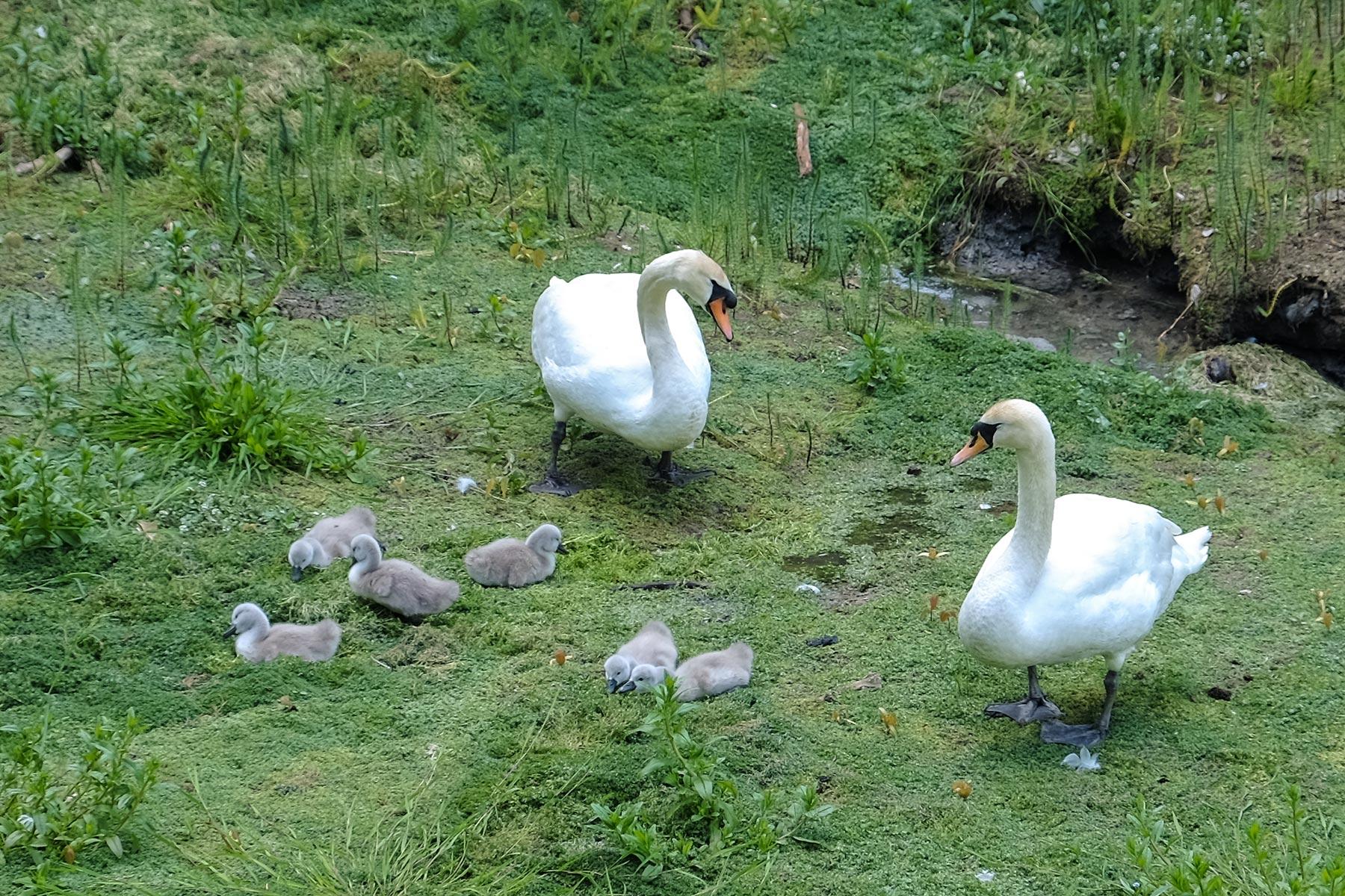 Schwäne im Prior Park in Bath, Somerset