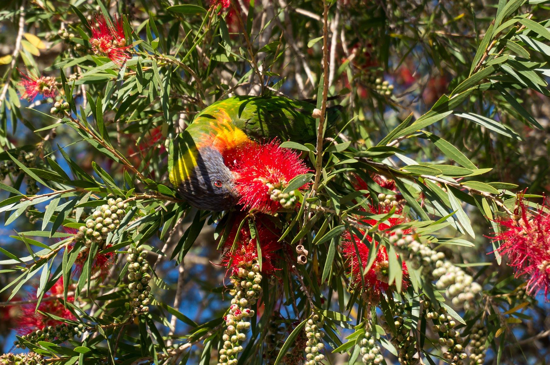 Papagei in Sydney, Australien