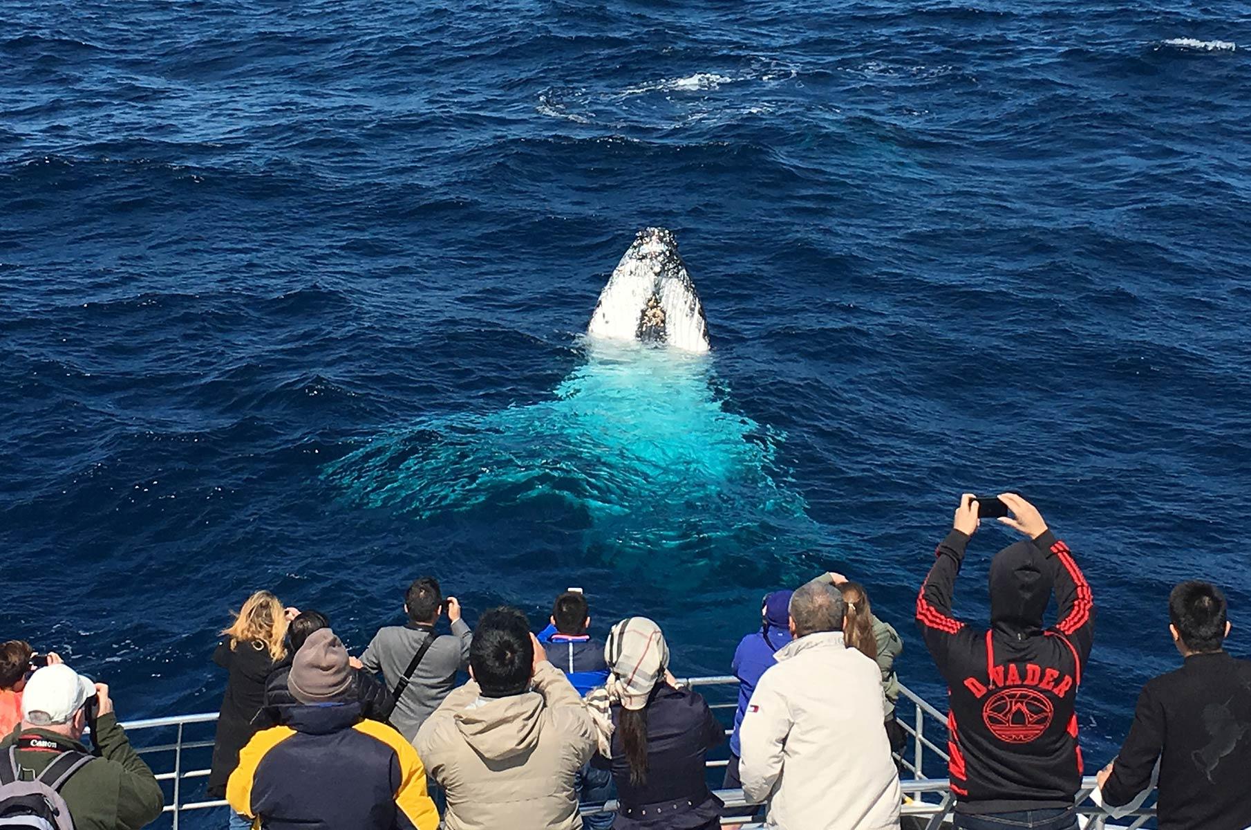 Buckelwal Whale Watching vor der Küste Sydneys, Australien