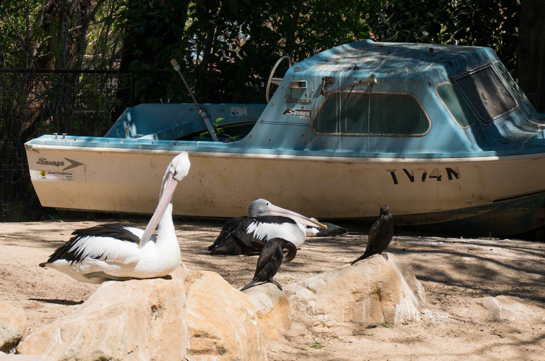 Pelikane im Featherdale Wildlife Park in Sydney, Australien