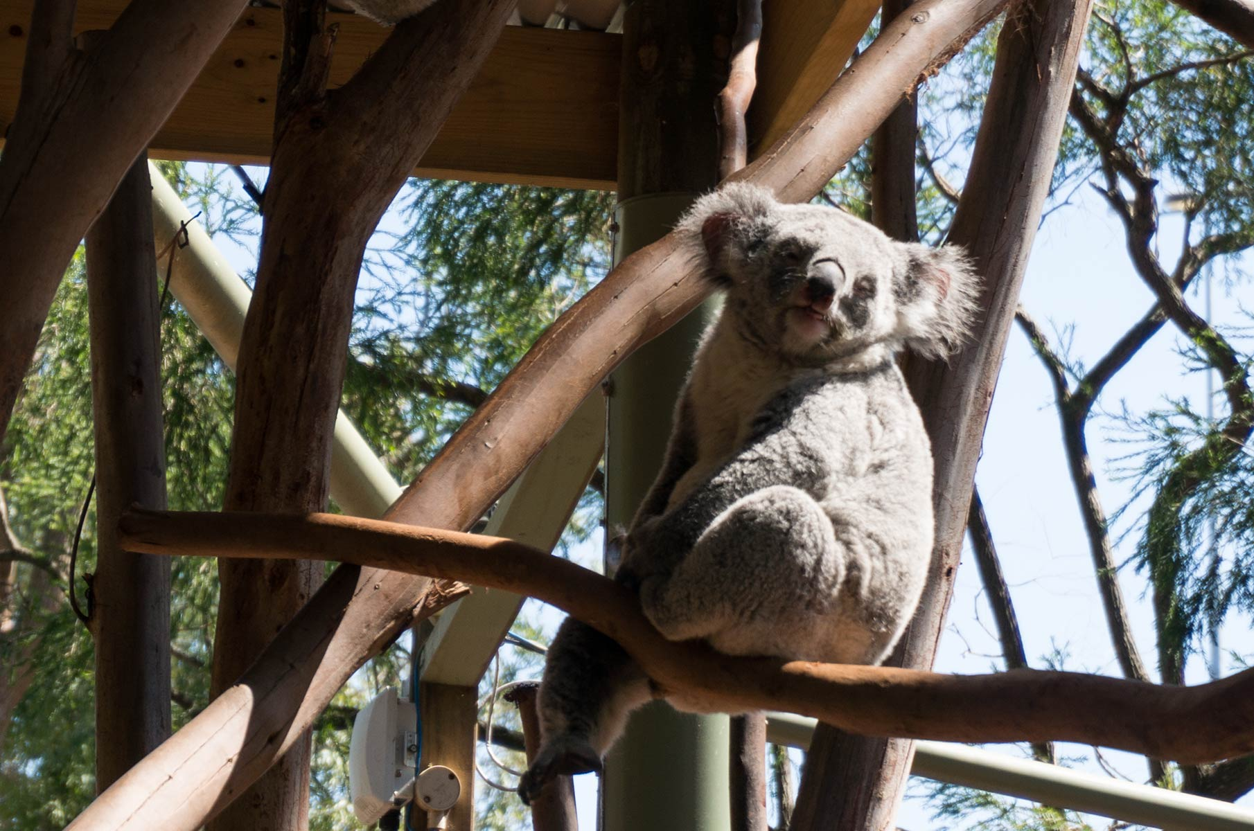 Koala im Featherdale Wildlife Park in Sydney, Australien