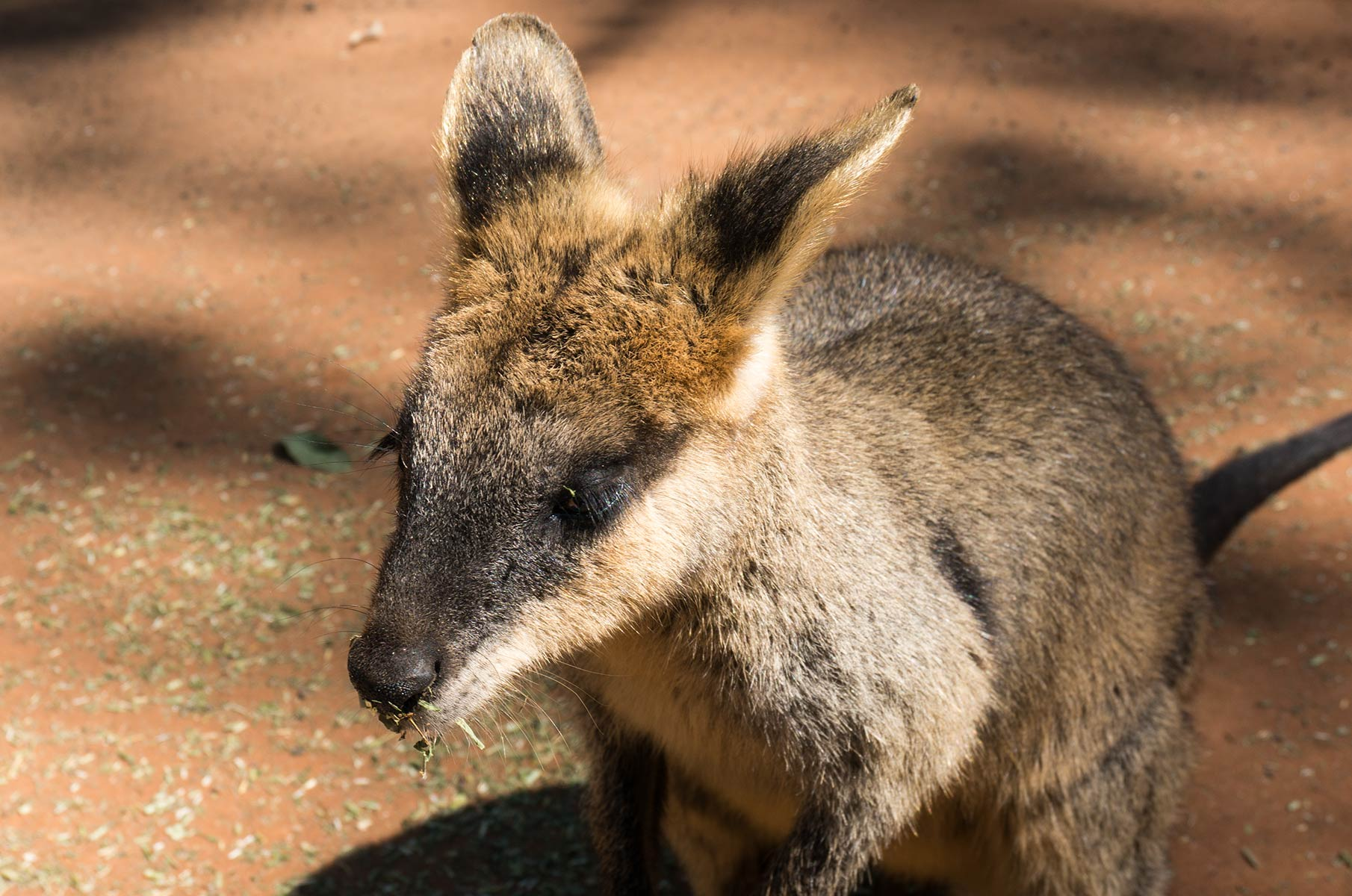Wallaby im Featherdale Wildlife Park in Sydney, Australien