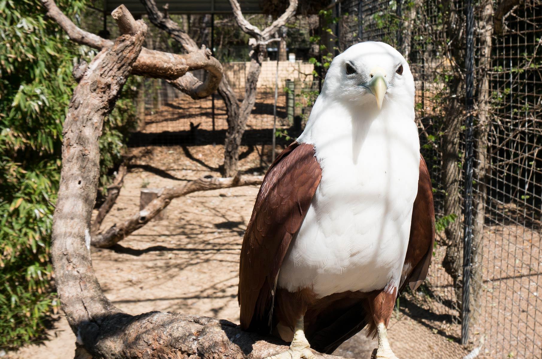 Weißkopfseeadler im Featherdale Wildlife Park in Sydney, Australien