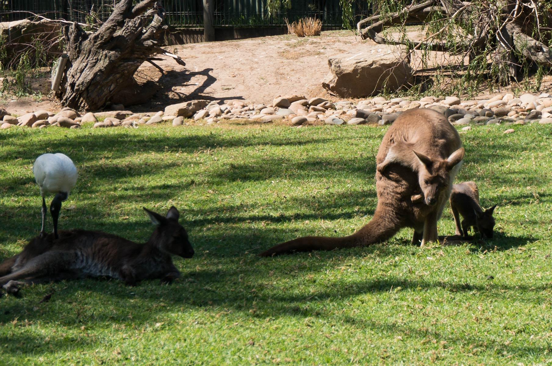 Kängurus im Featherdale Wildlife Park in Sydney, Australien