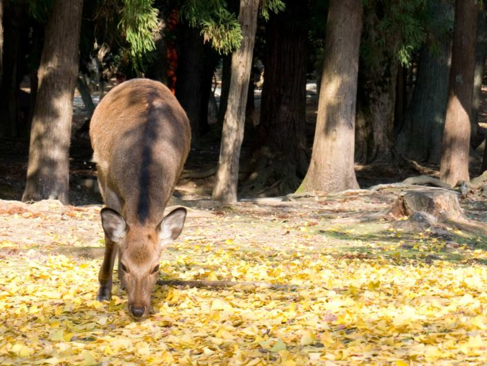 Nara – Todai-Ji und Nara Park