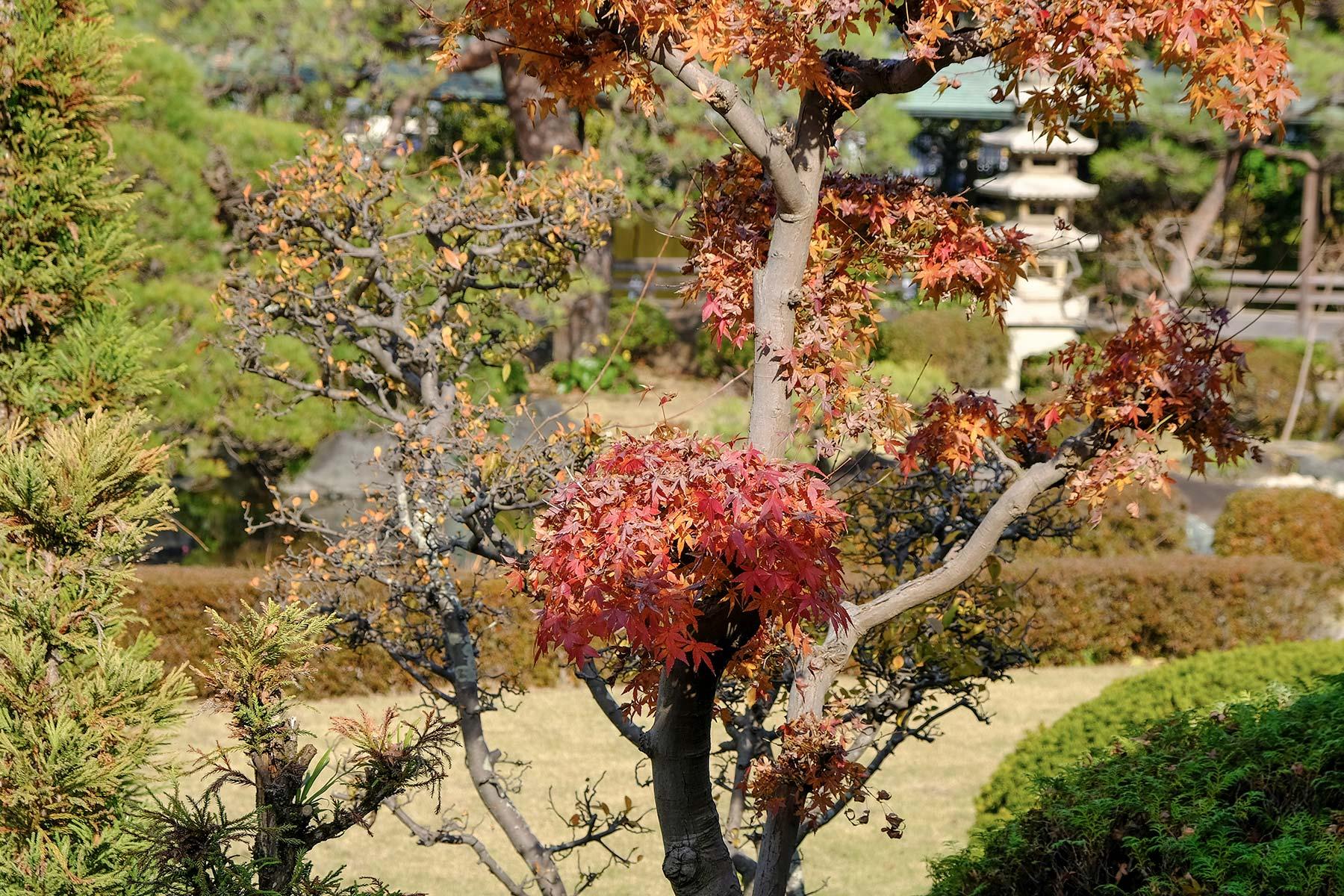 Herbstlaub im Garten des Shibamata Taishakuten
