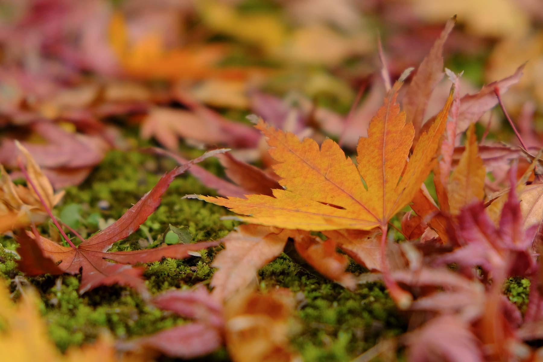 Fächerahorn in Herbstfarben im Garten des Shibamata Taishakuten