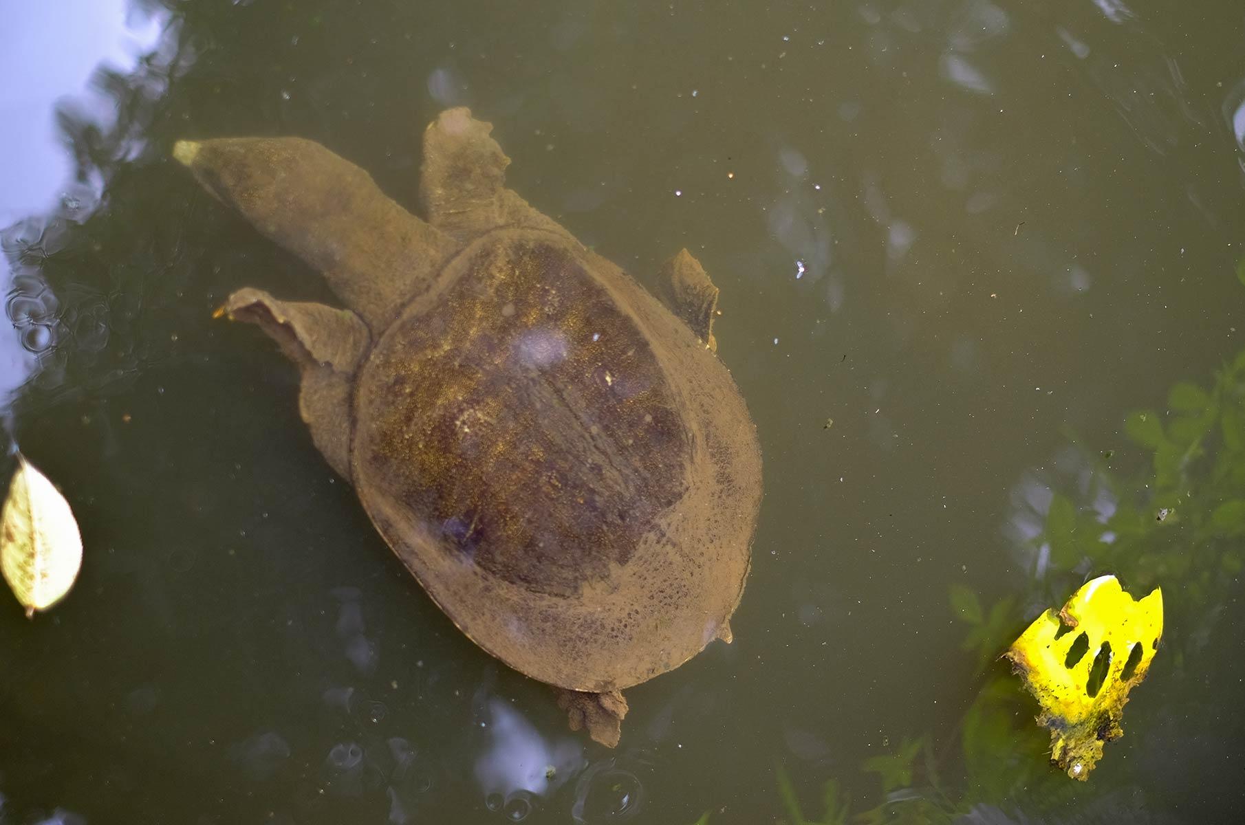 Schildkröte im Yoyogi Park in Tokyo, Japan