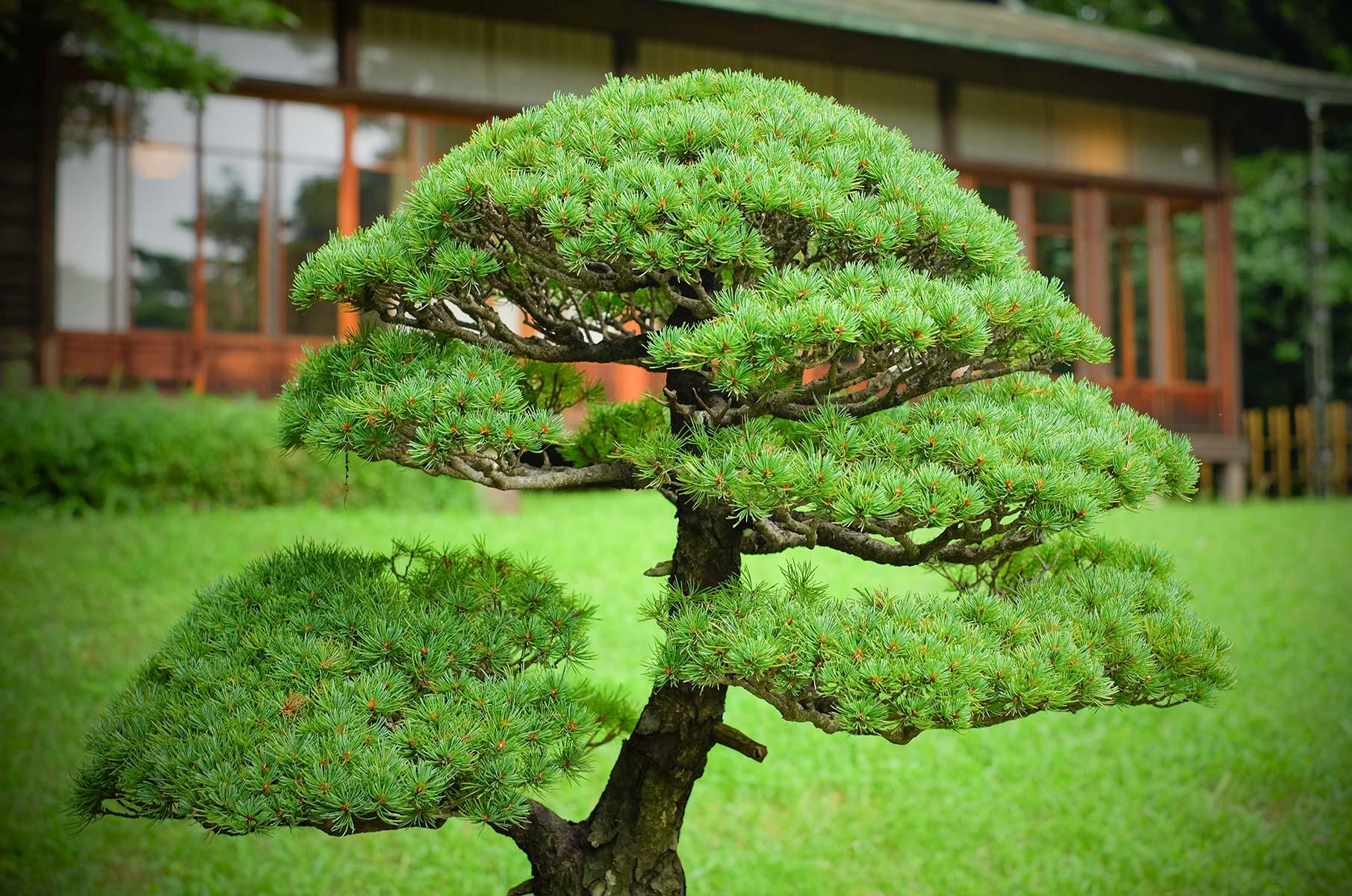 Bonsai Baum im Yoyogi Park in Tokyo, Japan