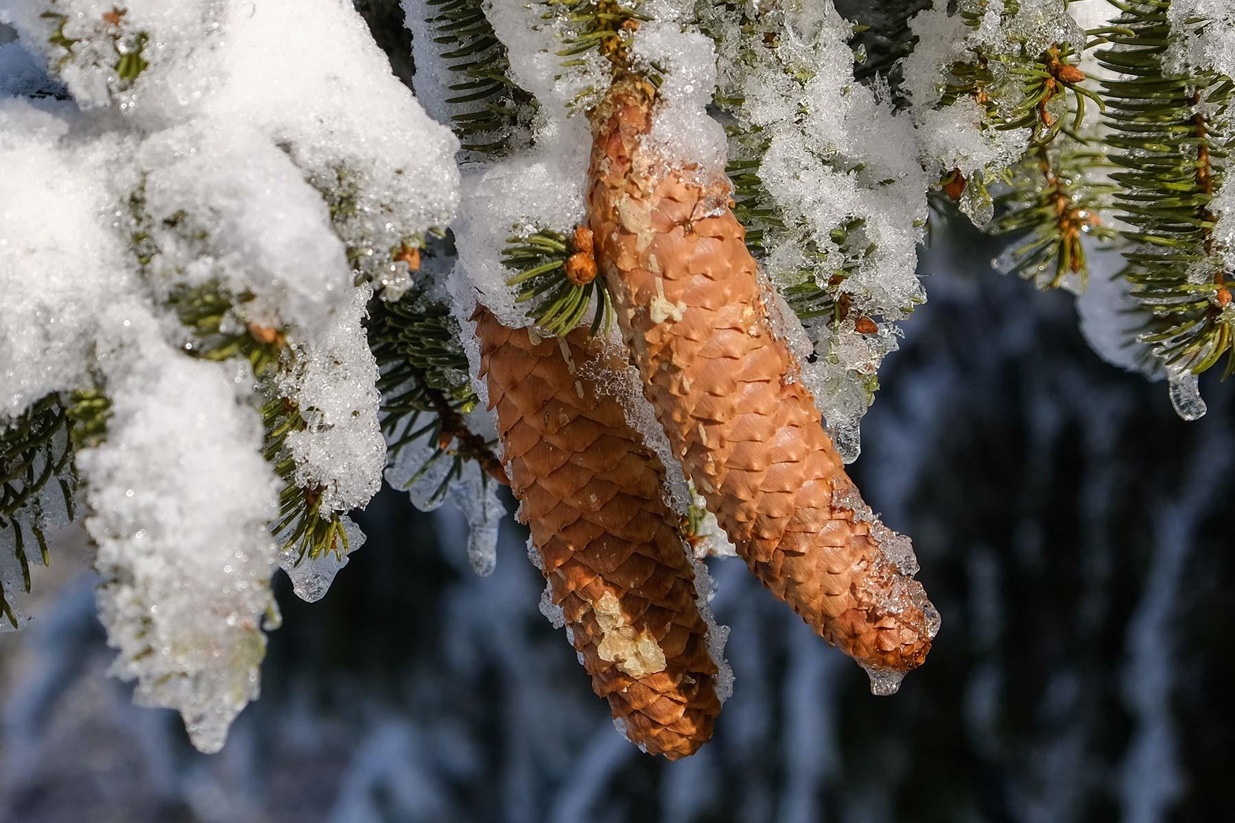 Tannenzapfen in den Vogesen im Winter